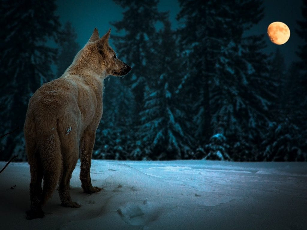 Wolf Photography Wolf And Moon Quotes. ...