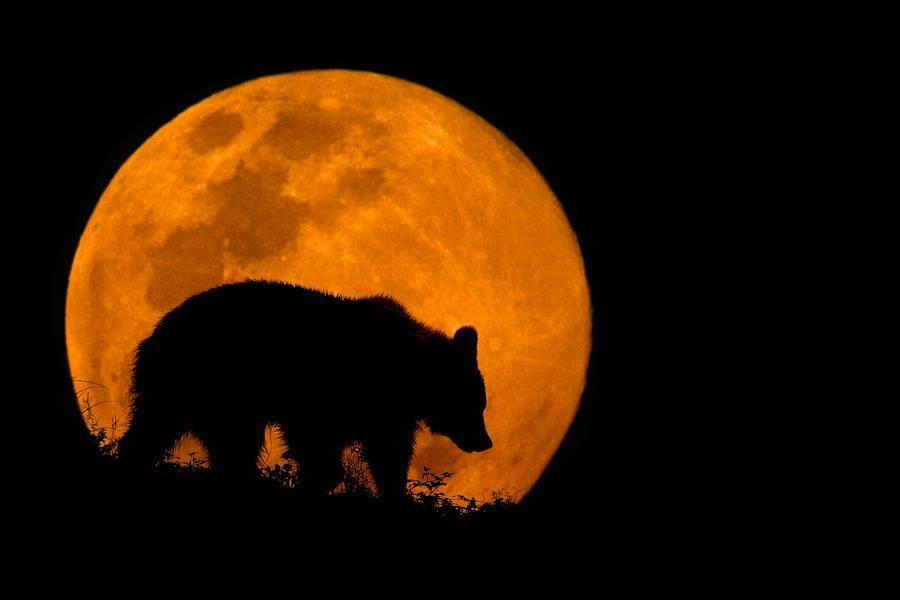 bear moon