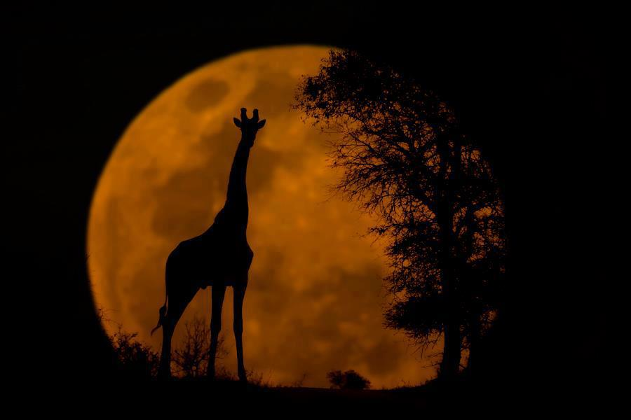 giraffe moon