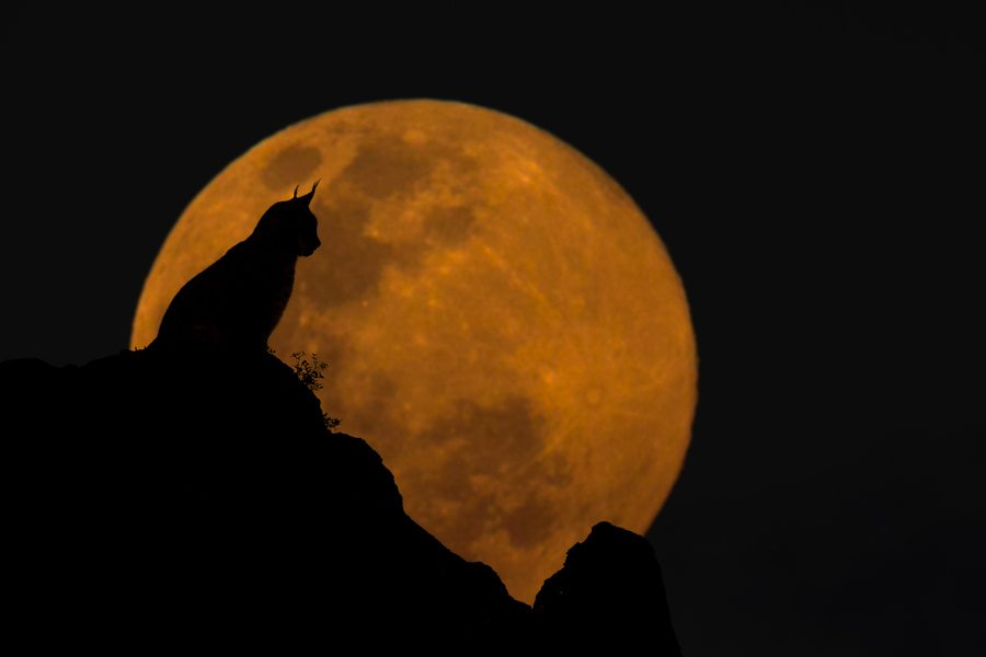"The newest addition to my composite series "" Wildlife & The Moon "". In this image a silhouette of an Eurasian Lynx at sunset taken in Cabarceno blended with an image of a rising full moon. The feline was captured with a 300mm focal length while the the moon was shot at 600mm on a tripod."