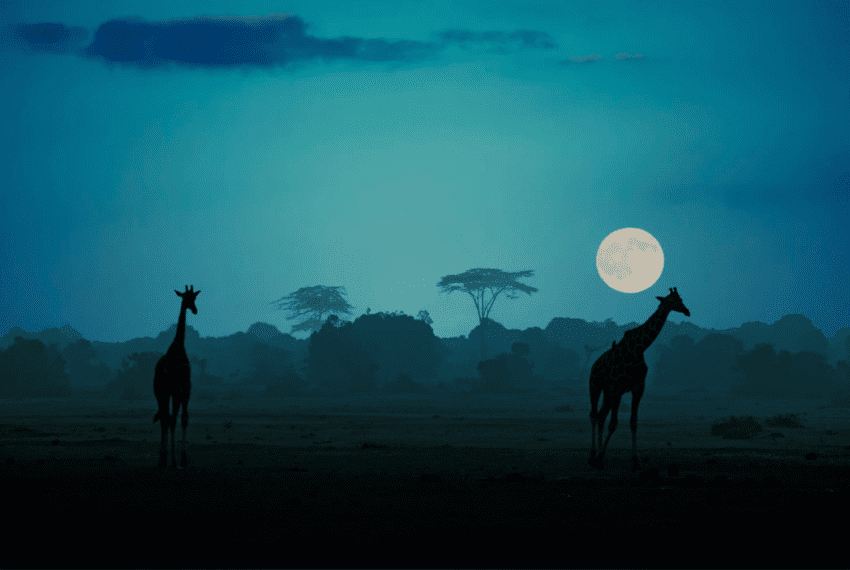 Giraffes Under the African Moon by Thomas Herzog